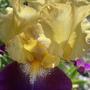Iris Jamaican Dream  (Iris germanica (Orris))