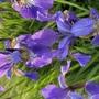 Siberian Irises (Iris sibirica (Siberian iris))