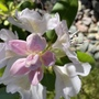 Rhododendron pale pink (rhododendron)