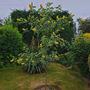 Taken yesterday in a patient's front garden. (Cytisus battandieri (Pineapple broom))