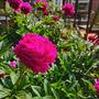 Peony-magenta pink. (Paeonia ludlowii (Ludlow's Tree Peony))