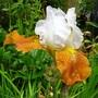 Iris Fall Fiesta