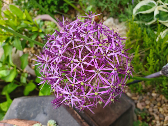 Another of the alliums. (1 of 5) (Allium cristophii (Ornamental onion))