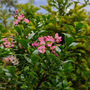 Escallonia, one I planted on the bund now blooming. (Escallonia)
