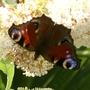 Summer_garden_2008_finn_and_popps_080