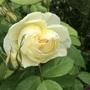 Rose 'Vanessa Bell' opening.