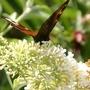 Buddleja davidii (Butterfly bush)