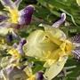 Irises (Iris germanica (Orris))