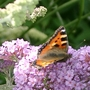Small Tortoiseshell out and about
