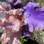 Iris Florentine Silk (Iris germanica (Orris))