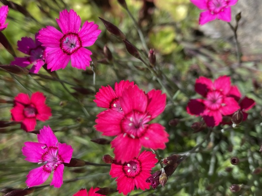 Pinks Dianthus  (Dianthus deltoides (Dianthus Brillant))