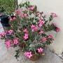 Adenium obesum- Desert Rose Flower