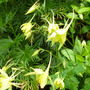 Aquilegia chrysantha (Aquilegia chrysantha)