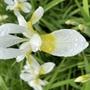 After the rain  (Iris sibirica (Siberian iris))