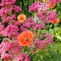 Red valerian and wild poppies