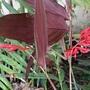 Stromanthe sanguinea Flower