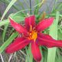 Spider Lily Crimson Pirate