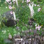 Cimicifuga (Cimicifuga racemosa (Black Cohosh))