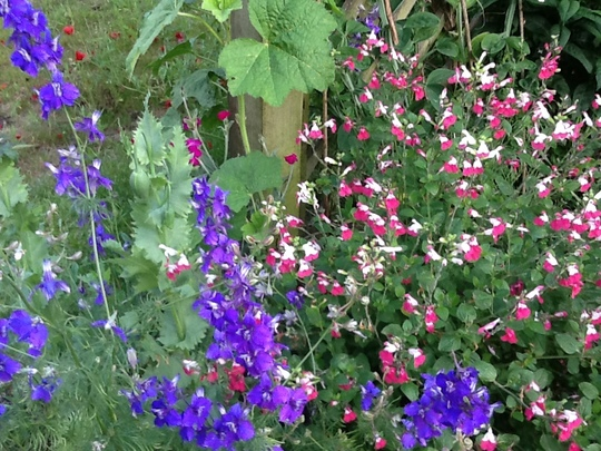 Salvia Pink lips & Larkspur.