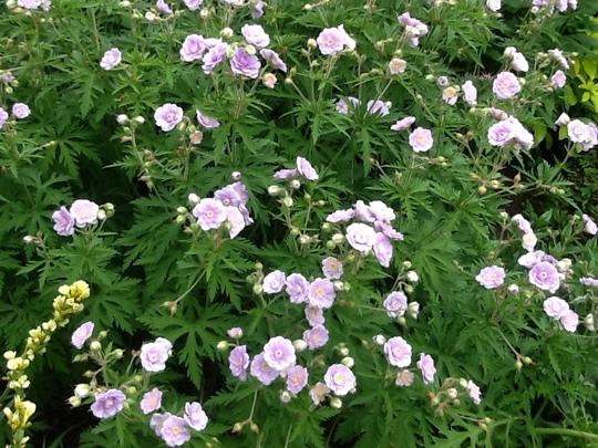 Geranium flora plena.