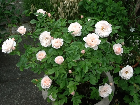 Soft pink Rose in a pot. Variety label long lost.