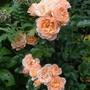 Peach Patio Rose
