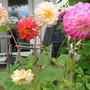 Colourful Dahlias
