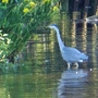 Heron on the river.