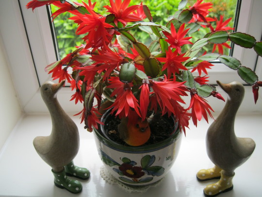 Easter or Christmas Cactus ?