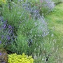 The lavenders are nearly out, just need a little more sunshine!
