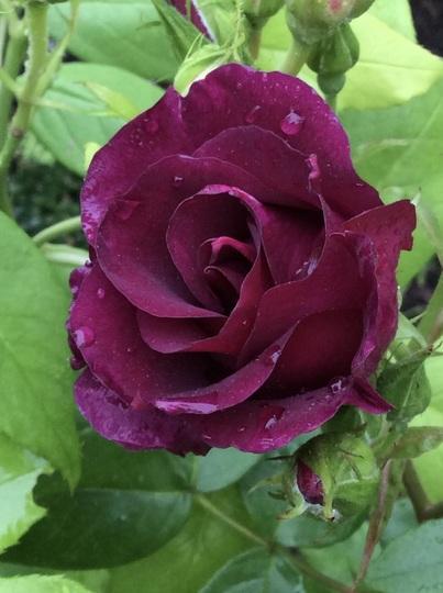 New rose, 'Night Owl'