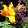 Hemerocallis 'Burning Daylight' (Hemerocallis)
