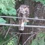 Great Horned owl/ Bubo virginianus