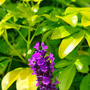 Lavender stalk and the limey yellow of the Choisya.  (Lavandula angustifolia (Lavender))