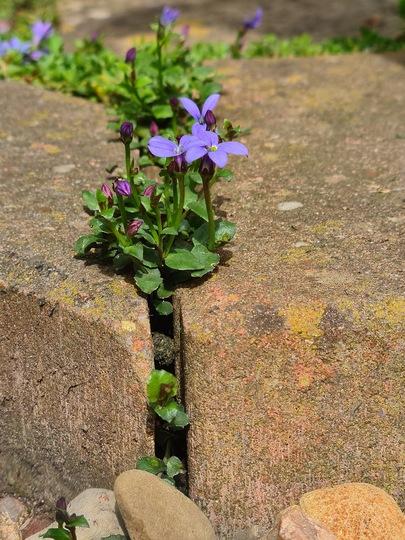 Pratia blue star creeping through the path. (Pratia)