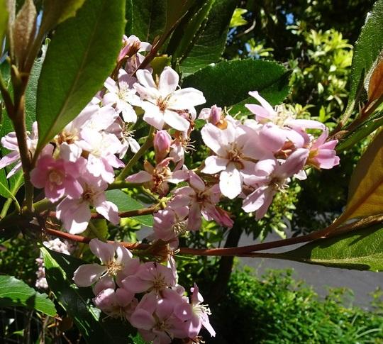 Indian Hawthorn/Rhaphiolepis indica (Rhaphiolepis indica)