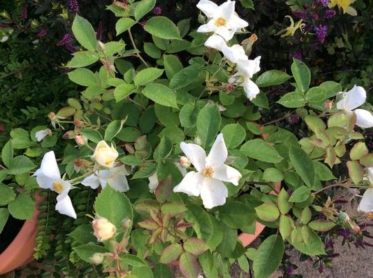 New rose, 'Kew Gardens'