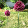 Turkey Leg Alliums
