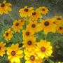 Rudbeckia - Indian Summer
