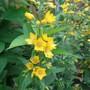 Lysimachia punctata (Yellow Loosestrife)