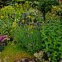 Lavender on the rockery  (Lavandula x intermedia (English Lavender))