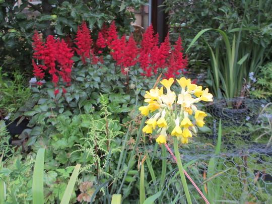 Primula florindae (Primula florindae (Giant Himalayan Cowslip))