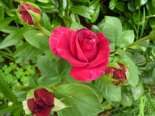 "Rose ""Stephen's Large Purple"""