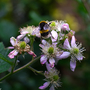 Bumble bee on blossom (Rubus fruticosus (Blackberry))