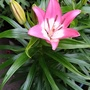 Asiatic Lily Perfect Joy 1st flower to open on balcony 27th June 2021 002