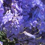 Are you down with blue today? (Jacaranda mimosifolia (Brazil Rosewood))