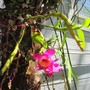 Dendrobium on a tree after one year..