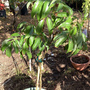 Lychee chinensis 'Sweetheart' (Lychee chinensis 'Sweetheart')