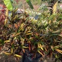 Codiaeum variegatum 'Mammy'- Croton (Codiaeum variegatum 'Mammy'- Croton)
