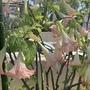 Pink Angel's Trumpets Flowering